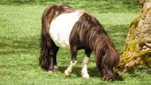 Shetland Pony Grazing In A Fie...