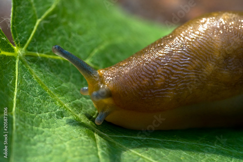 Photo  Giant slug on a green grapes leaf