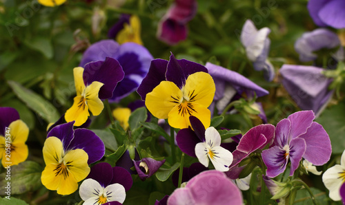 Fotobehang Pansies Close up of tender multi-colored violets on the flowerbed - pansy.