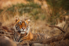 Beautiful Tigress In The Nature Habitat. Tiger Rest During The Golden Light Time. Wildlife Scene With Danger Animal. Hot Summer In India. Dry Area With Beautiful Indian Tiger, Panthera Tigris
