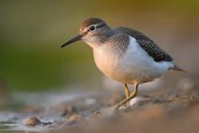 Common Sandpiper - Actitis Hypoleucos On The Shore