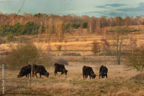 Fototapeta  Aurochs (Bos primigenius) in the Milovice steppe