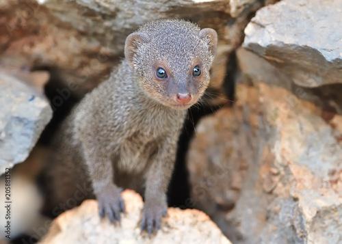 Fotografie, Obraz  Indian Mongoose - Herpestes auropunctatus - Island Korcula, Croatia