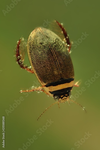 Láminas  Diving beetle (Graphoderus cinereus) swimming under water