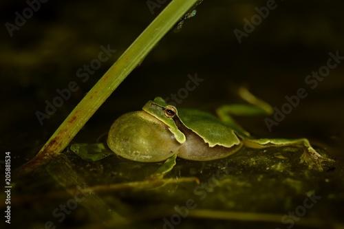 Photo European Treefrog - Hyla arborea in the small pond, singing frog