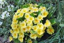 Pale Yellow Primula