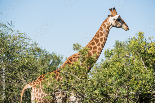 Photo  Giraffe in all its glory