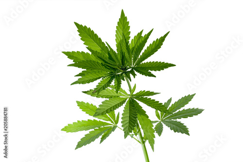 Wild marijuana plant isolated on the white background. Selective focus.