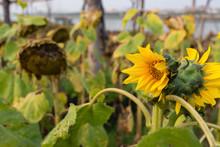 Field Of Fading Sunflowers