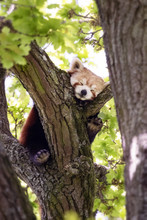 Cute Red Panda, Ailurus Fulgens, Sleep In A Tree. This Tree Dwelling Creature Is An Endangered Species And Is Indigenous To The Eastern Himalayas And Southwestern China.