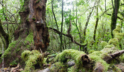 Deurstickers Pistache La Gomera: Fruchtbarer, grüner, feuchter Nebelwald mit Bäumen, Farnen und Moos :)
