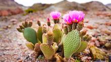 Prickly Pear Cactus Flower