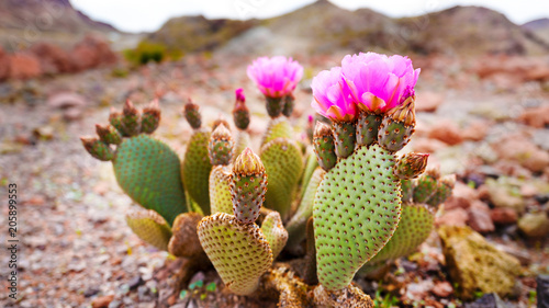 Spoed Foto op Canvas Cactus prickly pear cactus flower
