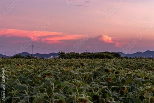 Tuinposter Lichtroze 黄昏の向日葵