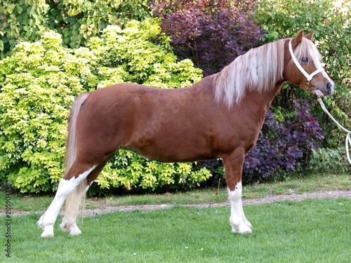 Fototapeta Pretty Pony