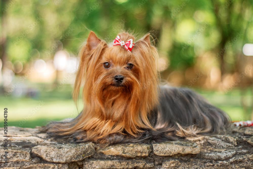 Fototapety, obrazy: yorkshire terrier dog beautiful spring  portrait
