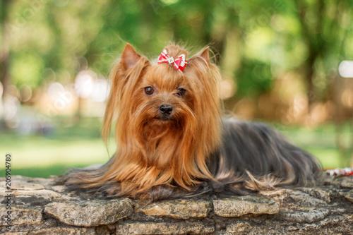 Obraz yorkshire terrier dog beautiful spring  portrait - fototapety do salonu