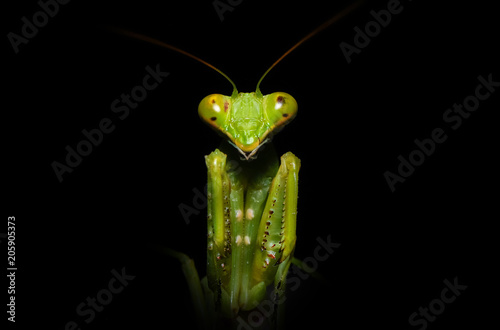Fotografie, Obraz  close up macro of green praying mantis