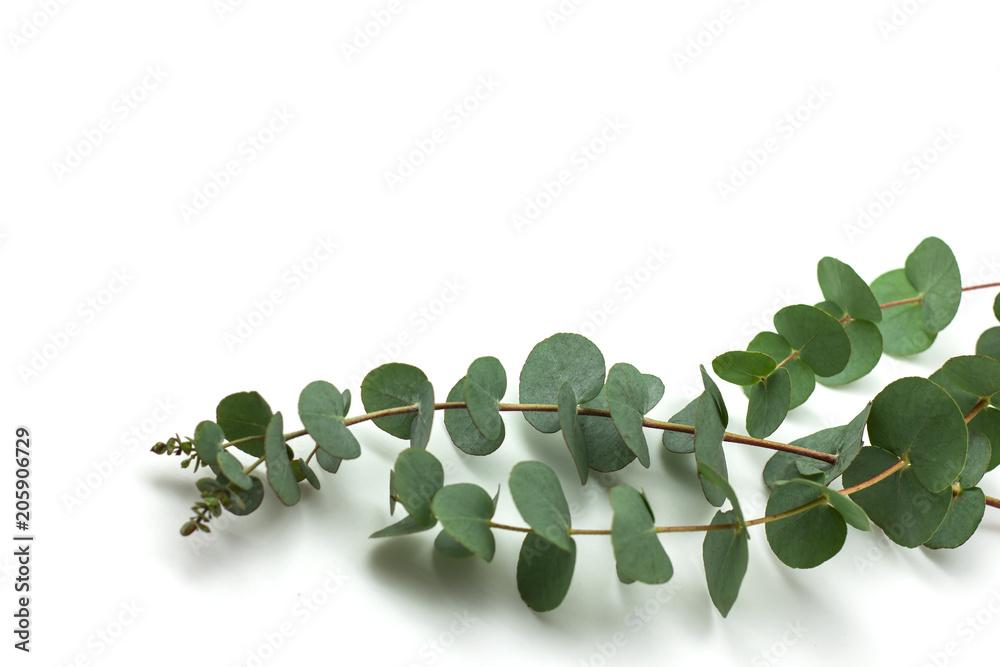 Fototapeta eucalyptus branches on white background isolated