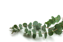 Eucalyptus Branches On White B...