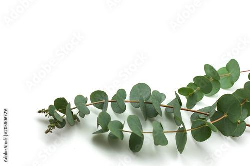 Fotografia  eucalyptus branches on white background isolated
