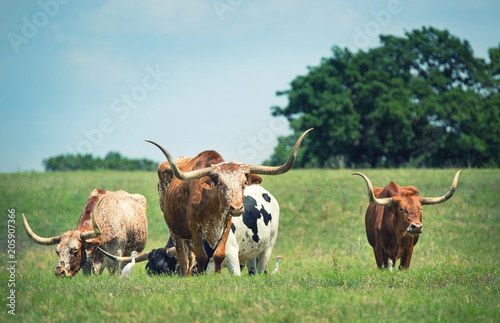 Poster Texas Texas longhorn cattle grazing on spring pasture. Blue sky background with copy space.
