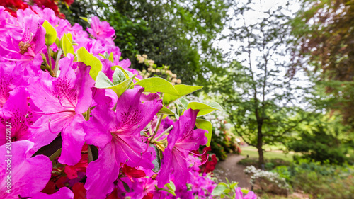 Keuken foto achterwand Azalea Panorama or web banner with pink azalea flower on a green tree background