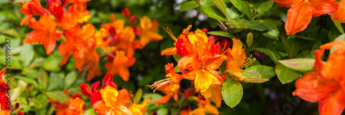 Panorama or web banner with orange azalea flower on a green tree background