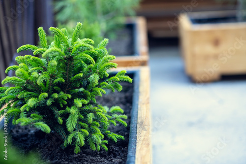 Photo Beautiful green conifers in wooden pots