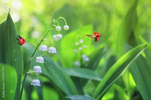 Fototapeta premium dwie biedronki pełzające i latające na leśnej polanie z białymi pachnącymi kwiatami konwalii