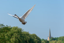 Mute Swan Taking Off With Church Tower And Spire In Background With Willow Trees And Boats On The River