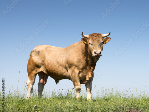 blonde d'aquitaine bull in green grassy meadow with blue sky as background