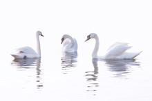 Three  White Swans  Are Swimmi...