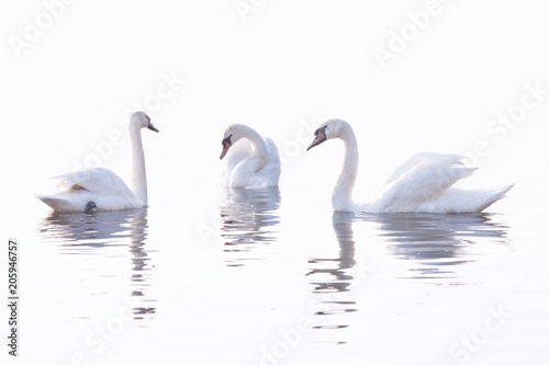 Three  White Swans  are Swimming on the Calm Water