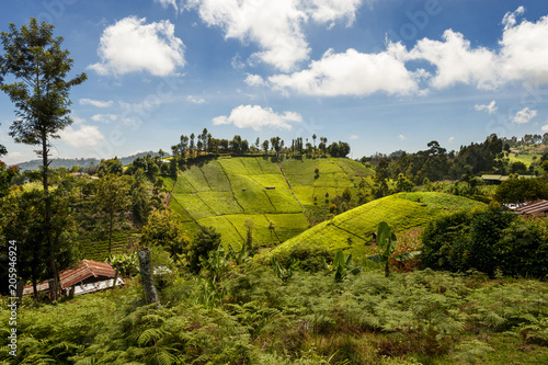 View of tea plantation on the slopes of Mount Kenya Poster Mural XXL