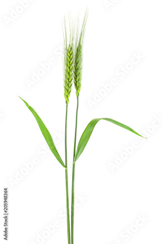 Papiers peints Graine, aromate Green spikelets of wheat on white background