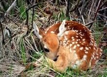 Newborn Fawn Resting In The Wo...