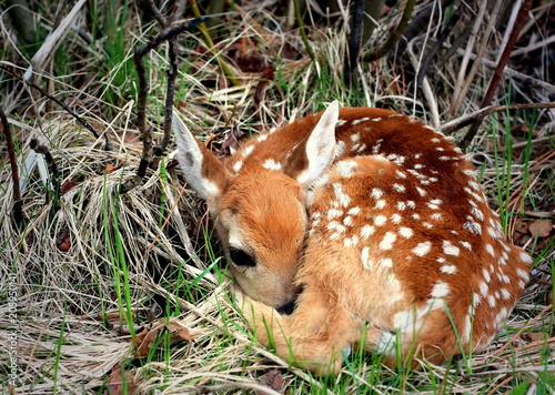 Canvas Print Newborn Fawn Resting in the Woods