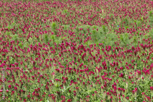 The spring Field of red Clover