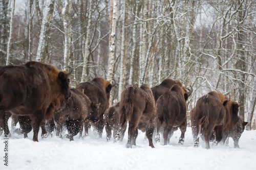 Fényképezés  Large brown bisons Wisent running in winter forest with snow