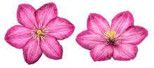 Clematis Pink Flower Isolated ...