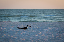 Black Skimmer Bird On The Beach