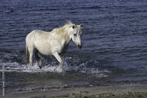 White stallion running through the ocean surf in Camargue, France Poster
