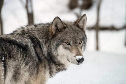 Staande foto Wolf Gray wolf in the snow