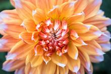 Dahlia With Peach, Orange, Red, And White, Yellow