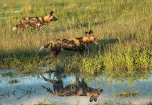 Two Wild African Dogs Hunting ...