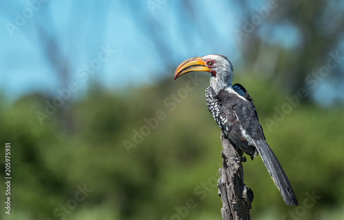 Fotografia, Obraz  Yellow Billed Hornbill