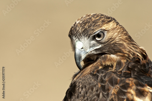 Photo Red Tailed Hawk Portrait