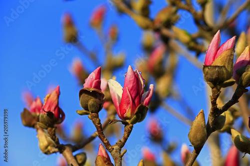 Foto op Aluminium Magnolia Magnolia flower blooming