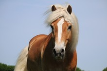 Beautiful Haflinger Horse Head...